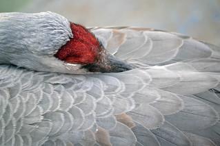 Sandhill Snooze