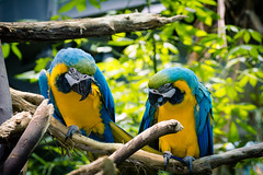 A couple of Macaws