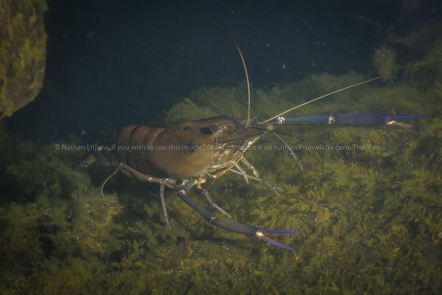 Blue clawed shrimp (Macrobrachium spinosum)