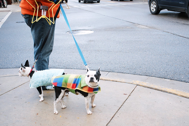 Boston terriers on parade.
