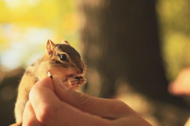 chipmunk cuteness overload