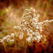 Faded Goldenrod by buffcleb