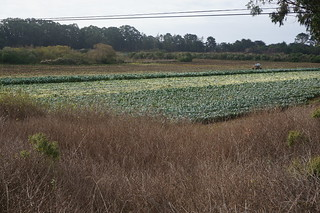 Brussel sprout field along the highway