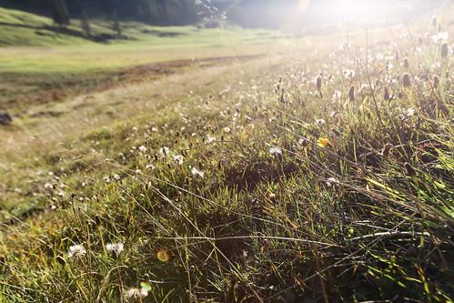 flowers sunset plants sun plant flower nature set canon eos schweiz switzerland see sonnenuntergang mark iii natur pflanzen meadow wiese blumen 5d untitled moning 1635 sämtisersee brülisau markusmoning appenzellinnerrhoden sämtiser