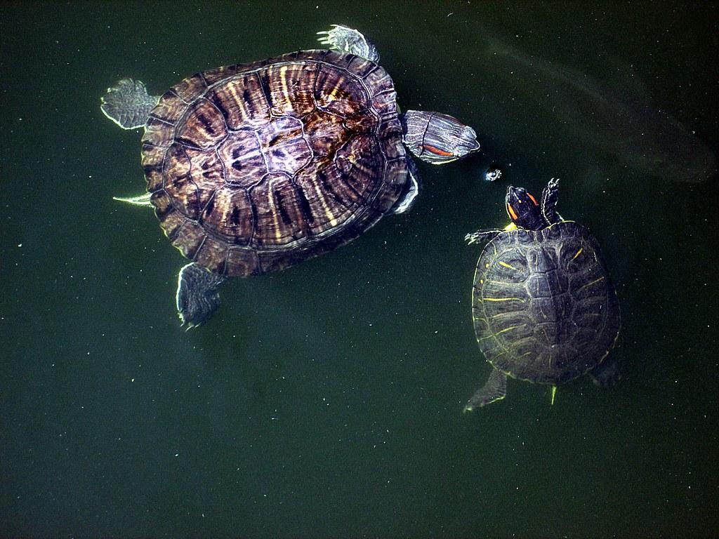 Tortugas Japonesas