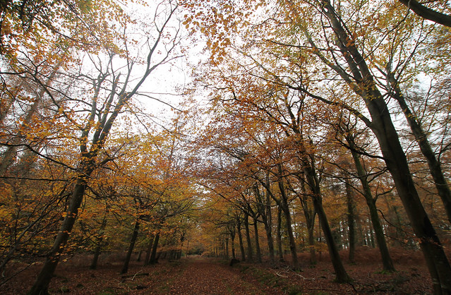 The beech leaves falling