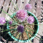 chives planting in deck: Cobweb Cottage by wrdnrd