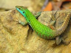agama, animal, green lizard, reptile, lizard, green, fauna, lacerta, american chameleon, lacertidae, dactyloidae, scaled reptile, wildlife,