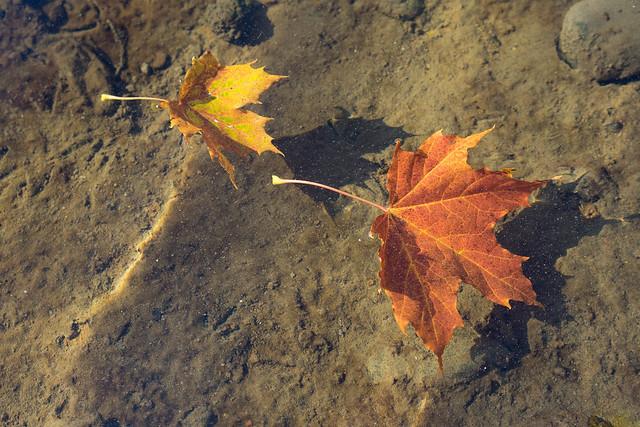 Autumn leaves follow the current - Høstbladene driver med strømmen