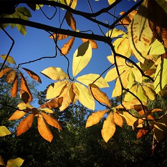 Transluscent Leaves in the Sun
