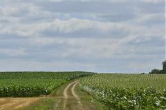 Passage entre les champs de maïs