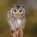 Southern White-faced Owl D75_5752.jpg by Mobile Lynn