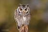 Southern White-faced Owl D75_5752.jpg