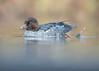 Garrot à oeil d'or femelle - Bucephala clangula - Common Goldeneye