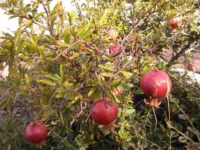 granada - fruto de otoño