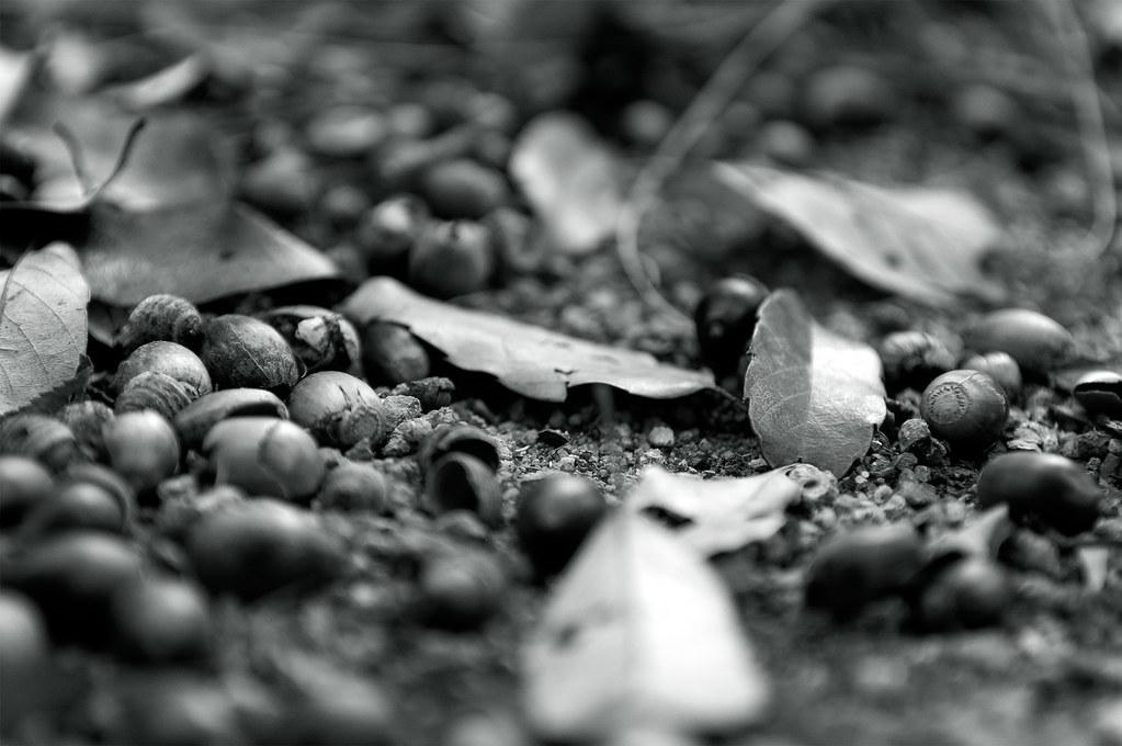 acorns|島根県安来市
