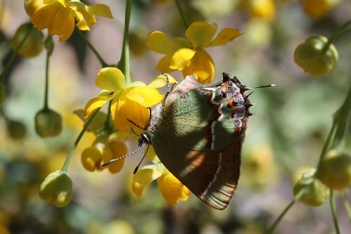 butterfly siva hairstreak juniperhairstreak