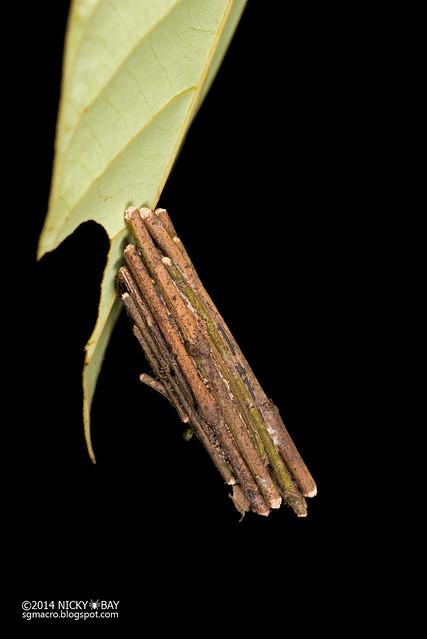Bagworm moth larva (Eumeta sp.) - DSC_6580