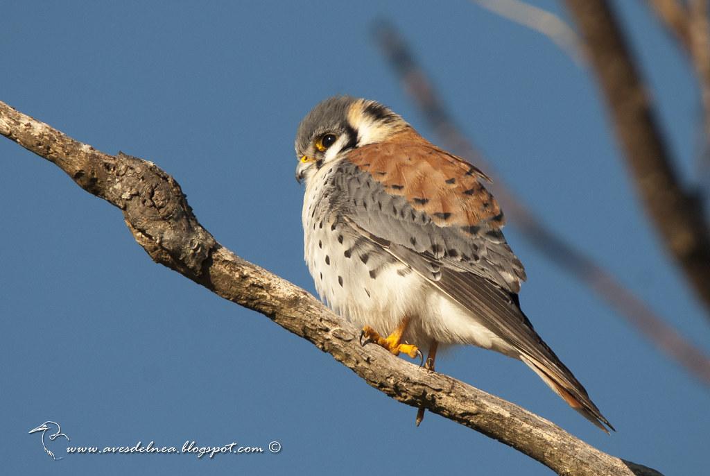 Halconcito colorado (American Kestrel) Falco sparverius