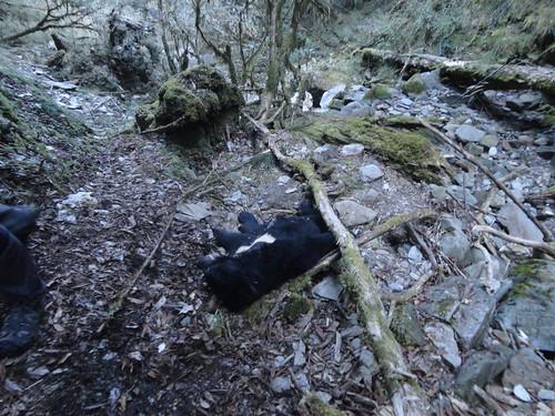 台灣黑熊死亡現場。(台東林管處提供)