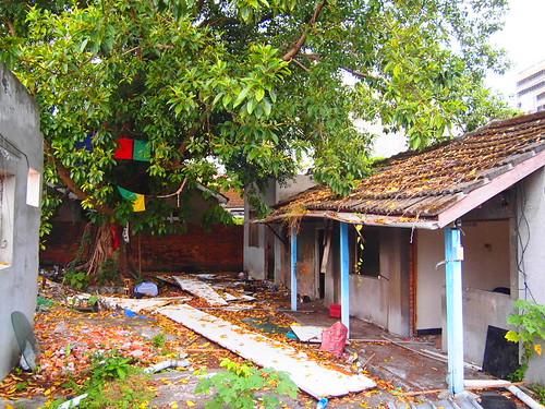 曾遭祝融的印度橡膠樹,旁掛上了五色旗祈福。