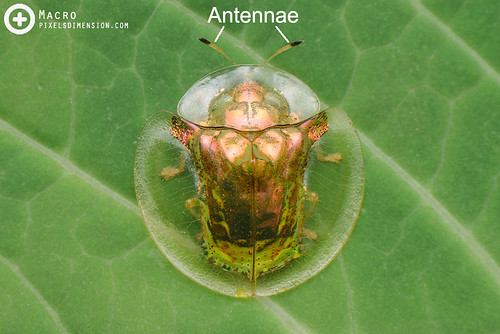 Insect- Antennae