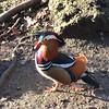 Mandarin ducks are the prettiest ducks #lifewithbaby