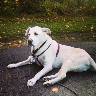 Zeus says Good Morning and TGIF! #dogstagram #seniordog #fall #leaves #ilovebigmutts #ilovemyseniordog #megaesophagus #mybaby #love #instadog