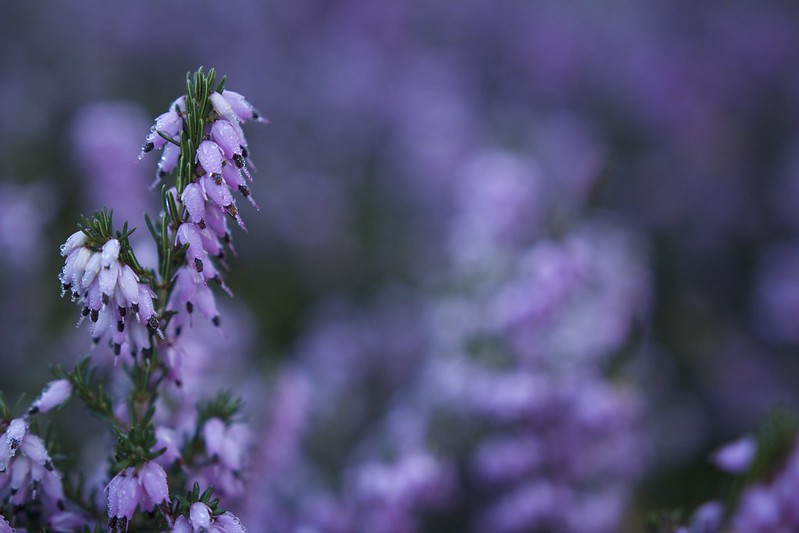 © Amie Whiting_2014_Winter Morning Heather Garden_01