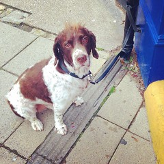 a spaniel waiting outside the shop.