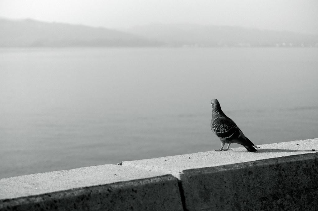 a pigeon|島根県松江市