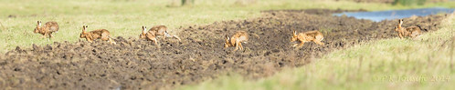 greatbritain england hare norfolk welney wwtwelney canon5dmkiii wwtphotographiccourse autumn2014 canon500mmf4usmiiis