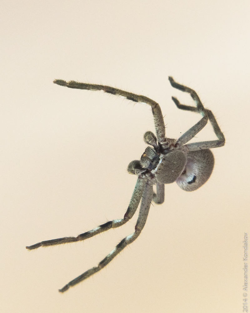 Huntsman spider-2