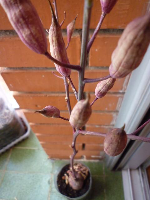 rabanito y sus frutos
