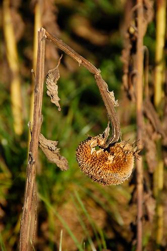 Verblühte Sonnenblumen bei Mailberg