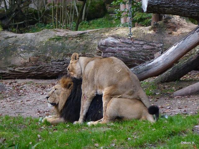 21-verkehrte Welt bei den Löwen