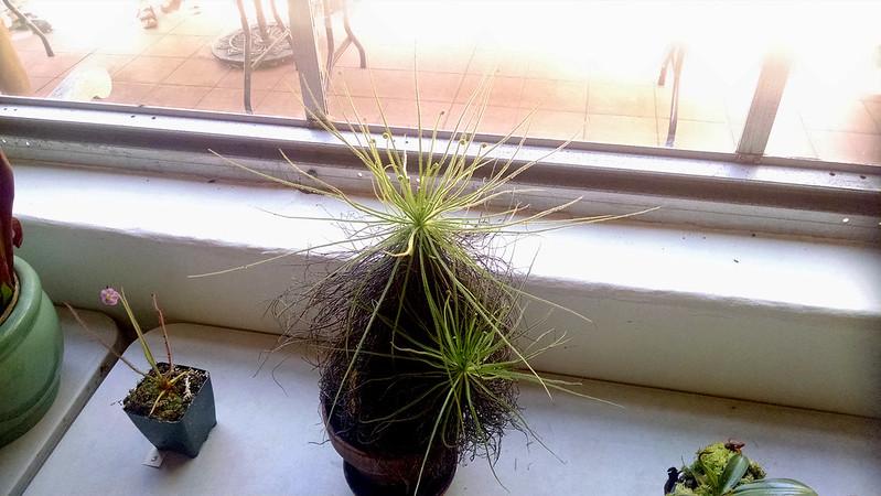 Drosophyllum lusitanicum.