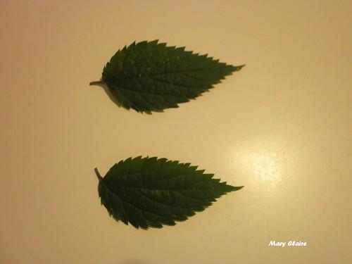foglie seghettate