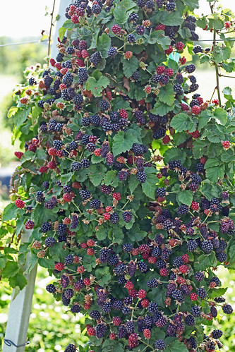 An abundant blackberry crop that is easier to harvest on the Rotating Cross-Arm Trellis, which is on the market thanks to an SBIR loan. Photo Fumiomi Takeda, ARS.
