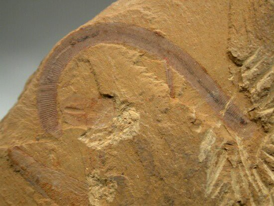 Maotianshania cylindrica, a fossil nematomorph worm, Early Cambrian