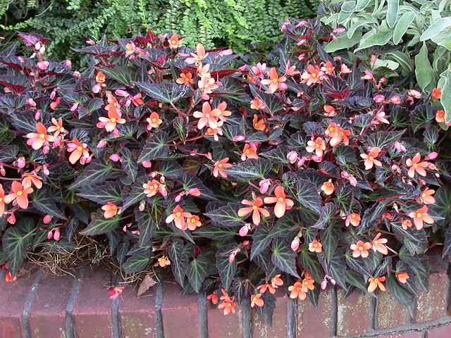 Begonia 'Sparks Will Fly'
