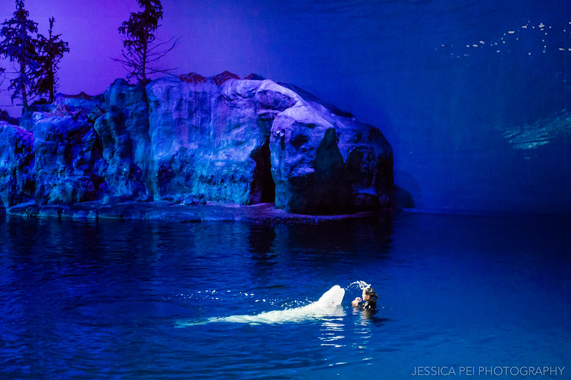 Beluga Whale Squirting Water in Chicago Shedd Aquarium Show