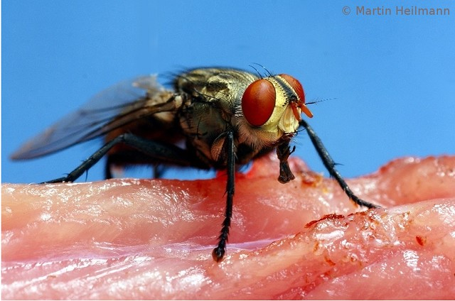 Flies liquefy their food by using their saliva