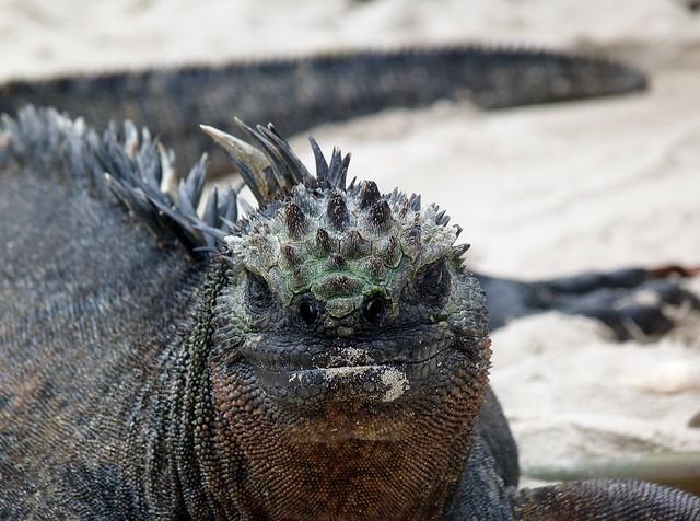 Iguana marina de islas Galápagos