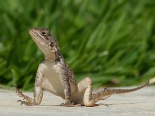 Lizard......feeling hot,
