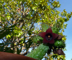 Huernia schneideriana, my 3rd bloom 10-14*