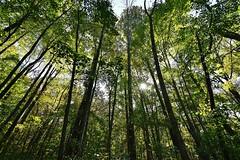 Boyd big tree preserve Pennsylvania