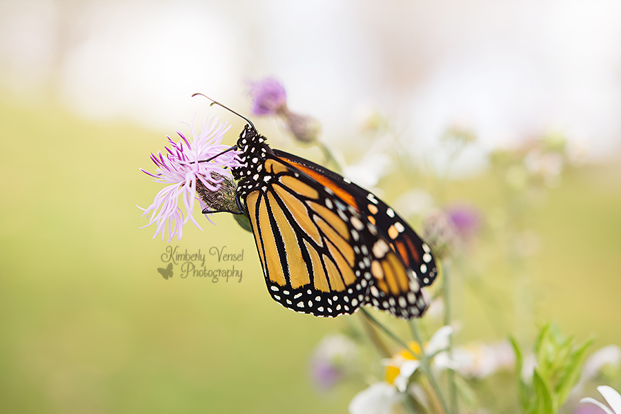 Monarch butterfly #172