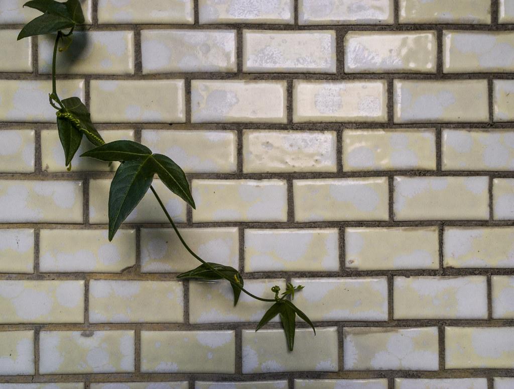 拍拍宿舍牆上的植物~