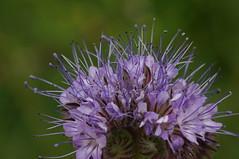 Bienenweide / Phacelia
